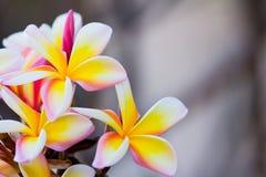 Frunch av frangipanien, Lantom, plumeriablomma Royaltyfri Foto