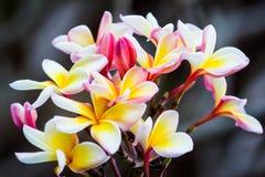 Frunch av frangipanien, Lantom, plumeriablomma Royaltyfri Bild