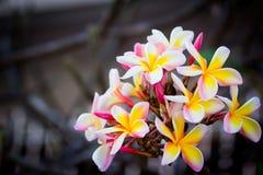 Frunch av frangipanien, Lantom, plumeriablomma Fotografering för Bildbyråer