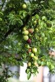 Frunch av plommoner royaltyfria foton