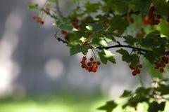 Frunch av vinbäret Royaltyfri Foto