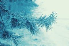 Frunch för granträd Fotografering för Bildbyråer
