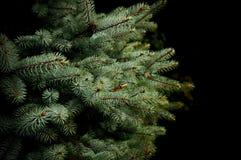 Frunch för granträd, närbild Royaltyfri Fotografi