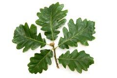 frunch isolerad oakwhite Arkivfoton