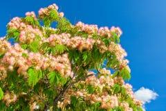 Fruncher för träd för rosa färgblomningakacia royaltyfria foton