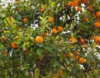 Fruncher med tangerinfrukter Arkivfoto
