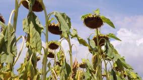 Frusciare asciutto dei fiori del giacimento del girasole stock footage