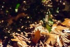 Frusciare le foglie di caduta Fotografia Stock