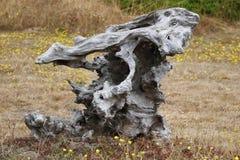 Frusta asciutta della conifera, vecchio sollievo di legno stagionato fotografie stock libere da diritti