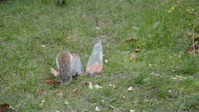 Frustrated squirrel with bag of nuts stock footage