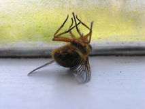 Frustration. Dead fly on window sill Stock Photo