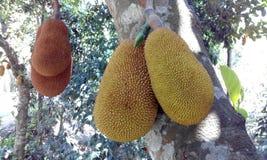 Frut de Bangla photographie stock libre de droits