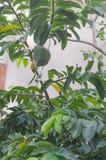 Frut dell'anona nella gestazione fotografia stock libera da diritti