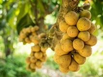 Fruta agrupada de wollongong Imágenes de archivo libres de regalías