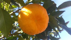 Fruta alaranjada em uma árvore Fotos de Stock Royalty Free