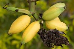 Fruta amarela da banana Fotografia de Stock