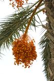 Fruta amarilla de la fecha en árbol del falm Imágenes de archivo libres de regalías