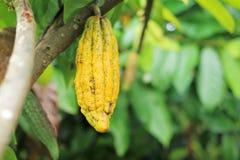 Fruta amarilla del cacao en ramas en un jardín Fotos de archivo libres de regalías