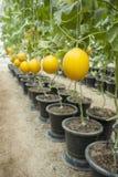 Fruta amarilla del melón en granja del melón Fotografía de archivo
