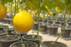 Fruta amarilla del melón en granja del melón Fotografía de archivo libre de regalías