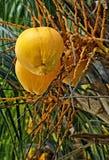 Fruta amarilla del santol Fotografía de archivo libre de regalías