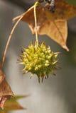 Fruta americana del sweetgum foto de archivo libre de regalías
