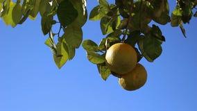Fruta anaranjada