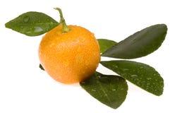 Fruta anaranjada. calamondin dulce Fotos de archivo libres de regalías