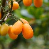 Fruta anaranjada del kumquat en el árbol imagen de archivo