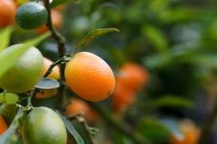 Fruta anaranjada del kumquat en el árbol foto de archivo libre de regalías