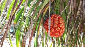 Fruta anaranjada del Pandanus y las hojas con las espinas Imagen de archivo