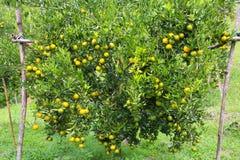 Fruta anaranjada fresca en huerta, fruta limpia o fondo popular de la fruta, fruta del mercado de la huerta de la agricultura Foto de archivo