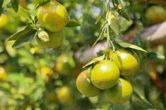Fruta anaranjada fresca en huerta, fruta limpia o fondo popular de la fruta, fruta del mercado de la huerta de la agricultura Imagenes de archivo