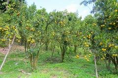 Fruta anaranjada fresca en huerta, fruta limpia o fondo popular de la fruta, fruta del mercado de la huerta de la agricultura Imagen de archivo libre de regalías