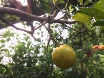 Fruta anaranjada fresca en un árbol foto de archivo