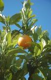 Fruta anaranjada que cuelga de un árbol Imagen de archivo