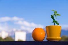 Fruta anaranjada y poco árbol anaranjado Fotos de archivo
