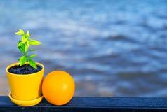 Fruta anaranjada y poco árbol anaranjado Foto de archivo libre de regalías