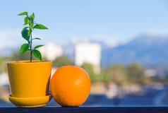 Fruta anaranjada y poco árbol anaranjado Imagenes de archivo