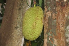 Fruta asiática con un nombre raro del fruto del árbol del pan Imágenes de archivo libres de regalías