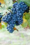 Fruta azul de la uva Imagenes de archivo
