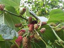 Fruta blanca y oscura del Morus en árbol verde Fotos de archivo libres de regalías