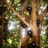 Fruta brasileña de la uva Imagenes de archivo
