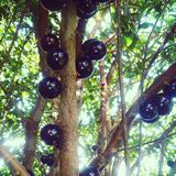 Fruta brasileña de la uva Fotos de archivo libres de regalías