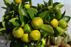 Fruta cítrica Calamondin Foto de archivo libre de regalías