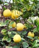 Fruta cítrica en árbol Fotos de archivo