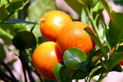 Fruta cítrica fresca Fotografía de archivo libre de regalías