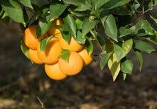 Fruta cítrica roja del grupo de Sicilia Imágenes de archivo libres de regalías