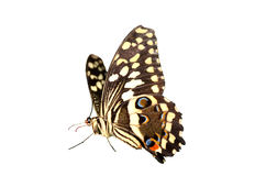 Fruta cítrica Swallowtail Imagenes de archivo