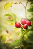 Fruta color de rosa del perro salvaje en jardín del otoño Fotos de archivo